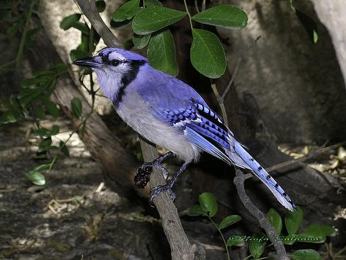 Carlsbad New Mexico - Pajaro azul I