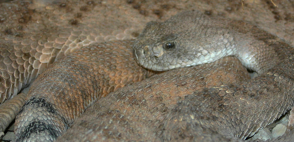 Carlsbad New Mexico - Red Diamond Rattlesnake