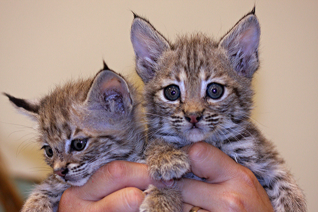 Carlsbad New Mexico - Bobcat kittens
