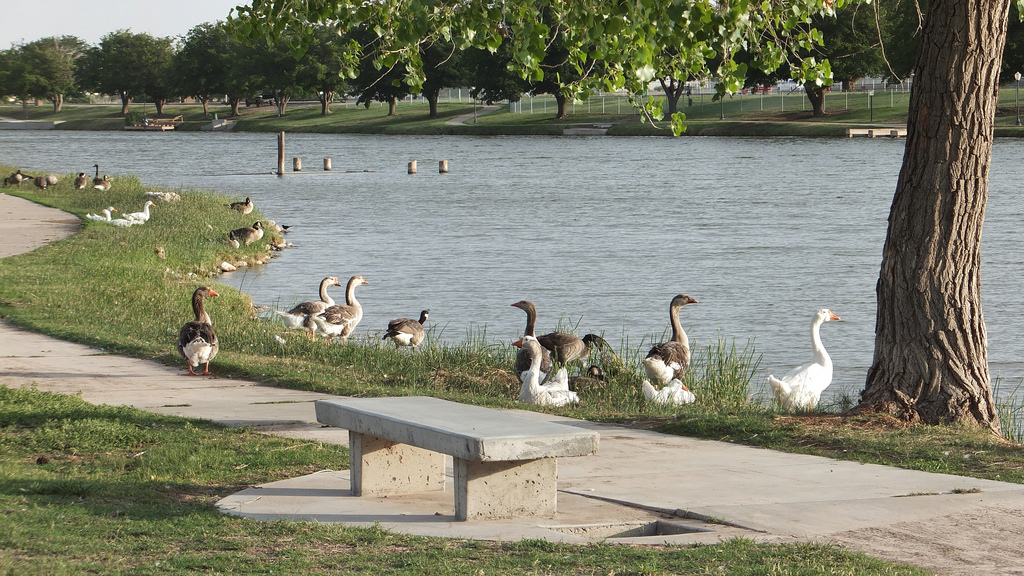 Carlsbad New Mexico - Grelayg geese by the Carlsbad Riverwalk, and the Pecos River; Carlsbad, New Mexico