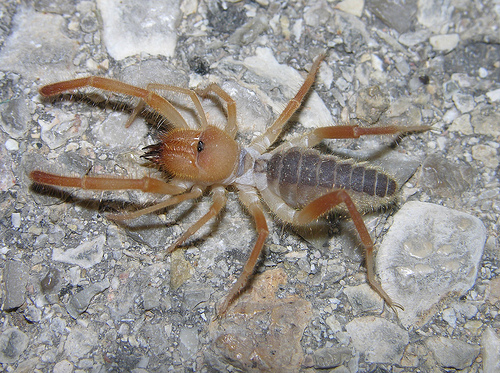 Carlsbad New Mexico - Camel spider (Eremobatidae), near Carlsbad, New Mexico